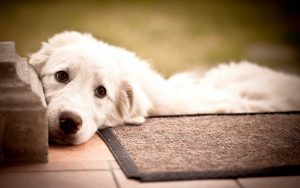 белая-собака-в-доме