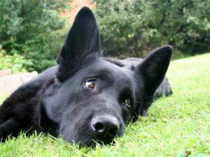 черная-собака-в-доме