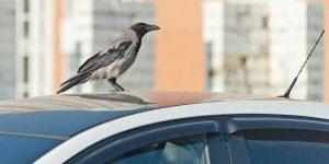 Птица-села-на-машину