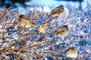 птицы-на-ветках-воробей