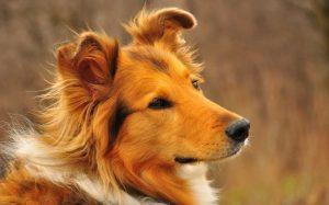 Рыжая-собака-в-доме