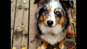 трехцветная-собака-в-доме