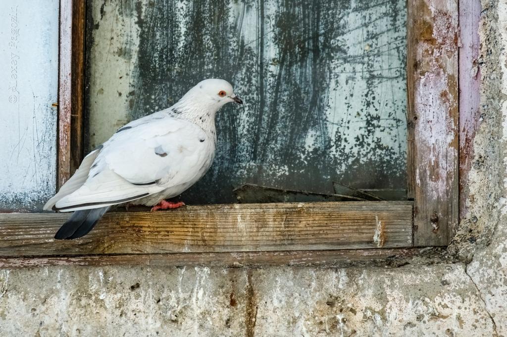 голубь на подоконнике приметы